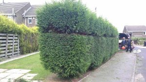 Hedge Trimming by Springfield