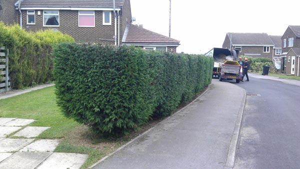 Hedge Trimming by Springfield Tree Services