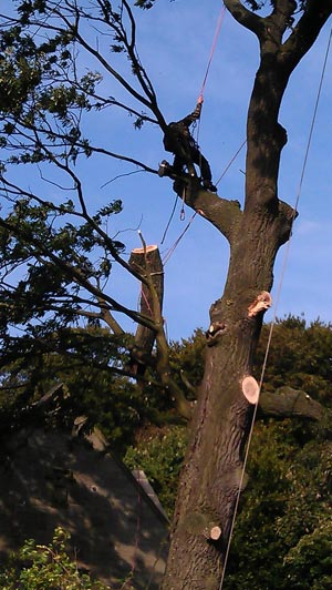 Tree Surgery by Springfield Tree Services