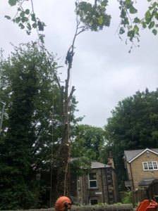 Sycamore removed today on a 5-day notice
