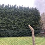 Springfield Tree Services Giant Hedge Removed