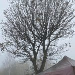 Maple Tree Shortened - Springfield Tree Services