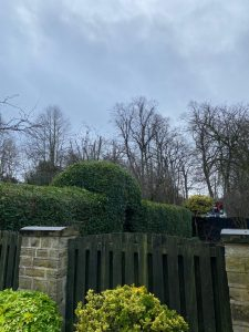 Wysteria Removed and Privets Trimmed. Springfield Tree Services