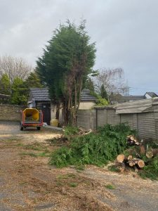 Springfield local tree surgeons removed an overgrown Conifer