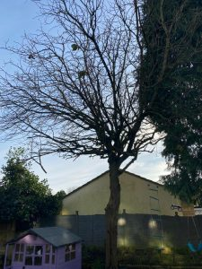 Springfield Tree Services Local Tree Surgeons removed a Chestnut